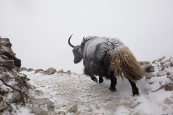 Yaks are awesome