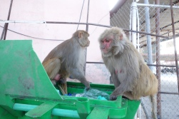 Monkeys at the airport, diggin in the trash