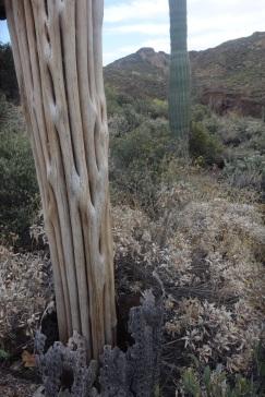 Seguaro Cactus skeleton