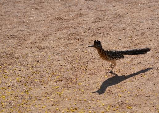 Roadrunner! Phoenix Botanical Garden